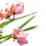 L`Occitane en Provence Roses Et Reines Rose Originelle