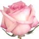 Teil 2 der Diskussionsrunde von Robertet zum Thema Rosen