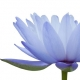 Nymphaea - Wasserlilien oder weiße Seerosen