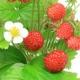 Russland und wilde Erdbeeren