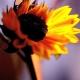 Von der Sonne umarmt - Sonnenblumen