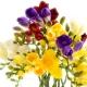 Freesie - eine Blume voller elektrisierender Frische