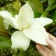 Magnolia Grandiflora Michel und Sandrine