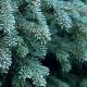 Weihnachtliche Aromen Teil III - Die Tanne