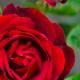 A Rose For... von Floris