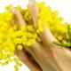Duftempfehlungen der Redaktion: Mimosen Düfte (2016)