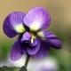 Violetta di Parma: Jewels' Joy bringt einen Klassiker zurück