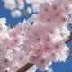 Duftempfehlungen der Redaktion: Kirschblütendüfte (2016)